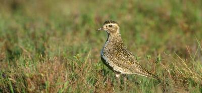Golden Plover 16 9 new dimensions11