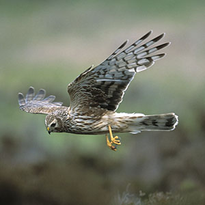flow roundels 0011 Hen Harrier