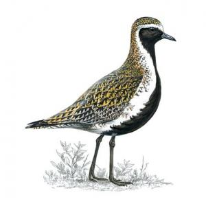 golden plover breedingplumage 1200x675